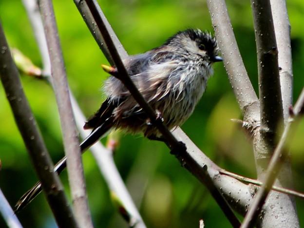 Photos: エナガの幼鳥