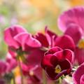 Photos: カラフルに花壇を染める