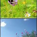 秋桜とイチモンジ蝶