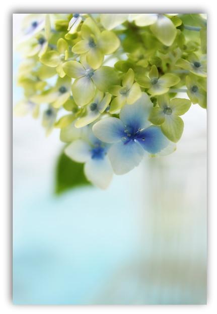 神無月の紫陽花