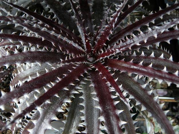 写真: Dyckia 'Brittle Star'