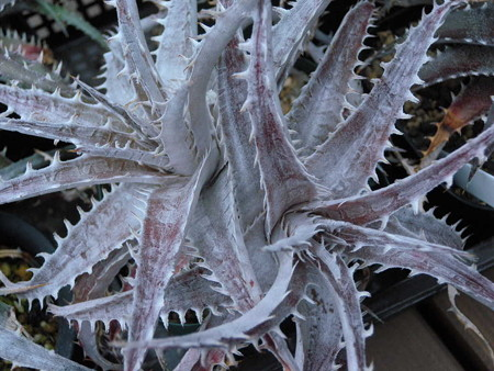 Dyckia sp.