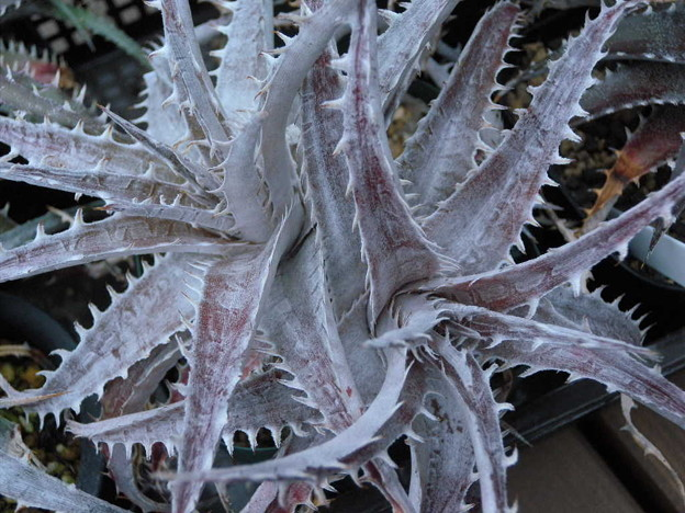 写真: Dyckia sp.
