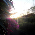 Photos: 陽光マンサクを輝らす。