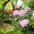 Photos: 石楠花の森