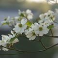 写真: 明け方の花水木