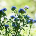 Photos: 花は水色
