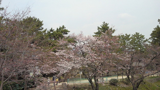 何故か駅に近い木は咲いてる夙川