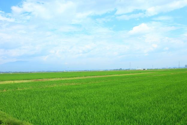 青々と茂る水稲