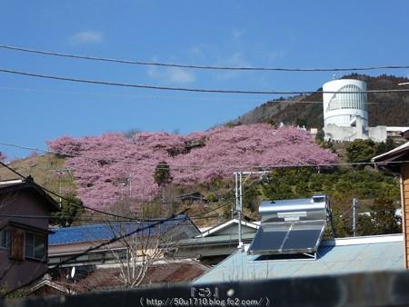 160226-松田町 河津桜 (2)
