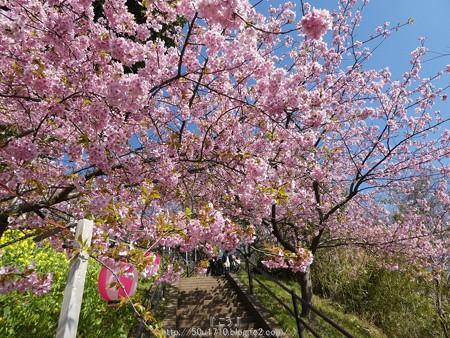 160226-松田町 河津桜 (6)