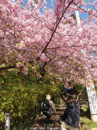 160226-松田町 河津桜 (14)