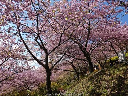 160226-松田町 河津桜 (46)