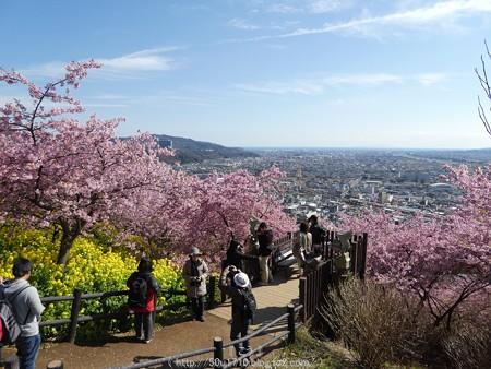 160226-松田町 河津桜 (87)