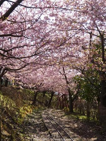 160226-松田町 河津桜 (117)