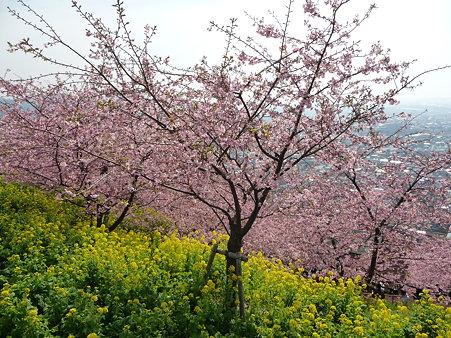 100223-松田山 河津桜 (80)