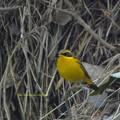 写真: GoldenBushRobin8087signed
