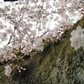Photos: sakura (3)