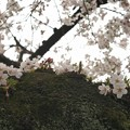 Photos: sakura (1)