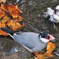 Photos: 文鳥と十姉妹の水浴び