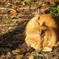 Photos: 夕日を浴びる猫