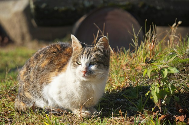 沖島の猫4
