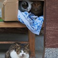 御誕生寺の猫8