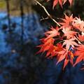 泉の森の紅葉