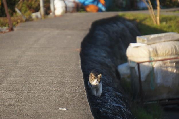 沖島の猫6