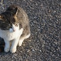 Photos: 沖島の猫9