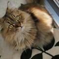 写真: もっさり猫
