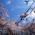 青空と枝垂桜