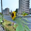 写真: 風になびく向日葵HDR
