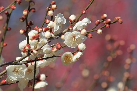 万博公園の梅の花