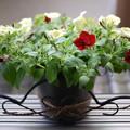写真: 本日の園芸その3-サフィニア購入