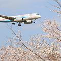 ロシア機さん、これが日本の桜ですよ
