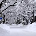 Photos: 桜並木・冬の花