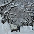 写真: 排雪後の桜大通り01
