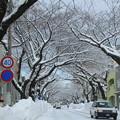 写真: 排雪後の桜大通り02
