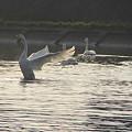 白鳥の舞いー3