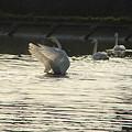 白鳥の舞いー2