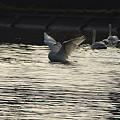白鳥の舞いー1