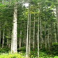 金精峠のブナ林2
