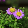 ノコンギク(野紺菊)