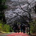 所沢航空公園の桜3