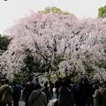 六義園 枝垂れ桜3