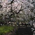 六義園 枝垂れ桜4