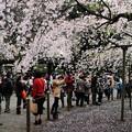 六義園 枝垂れ桜6
