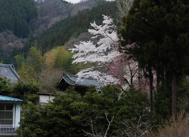 常明寺の桜