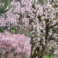 魅了する枝垂れ桜